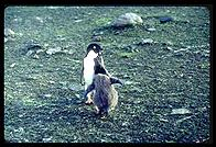 Southern Thule - Adelie Penguins - Jan 2002