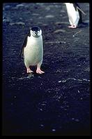 Southern Thule - Chinstrap Penguins - Jan 2002