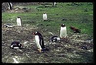 Southern Thule - Gentoo Penguins - Jan 2002