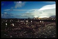Southern Thule - Cook Island - Jan 2002
