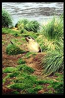 South Georgia - Fur Seal pup - Jan 2002