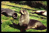 South Georgia - Husvik - Fur Seals - Jan 2002