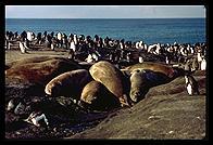 Southern Thule - Elephant seals - Jan 2002