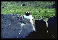 Southern Thule - Gentoo penguin behind rock - Jan 2002