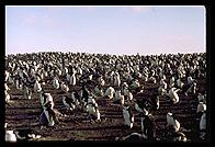 Southern Thule - Alot of penguins - Jan 2002